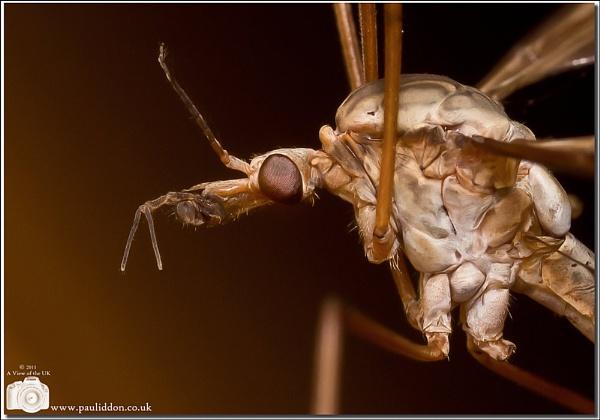 Crane Fly (Daddy Long Legs) by Paul_Iddon