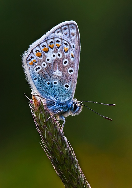 Common Blue by gary_d