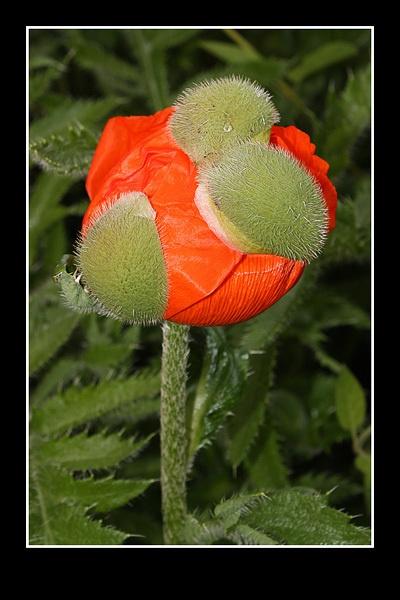 Poppy opening by swanseamale47