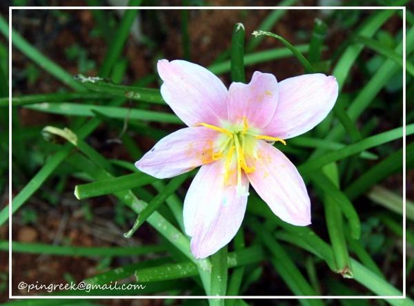 lily by pingreek