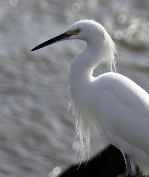 Egret by abesad