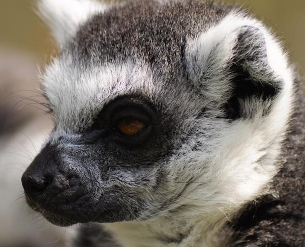 Lemur by darranl