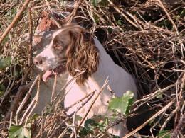 Meg in the bracken - doing what she likes to do - chase wild rabbits