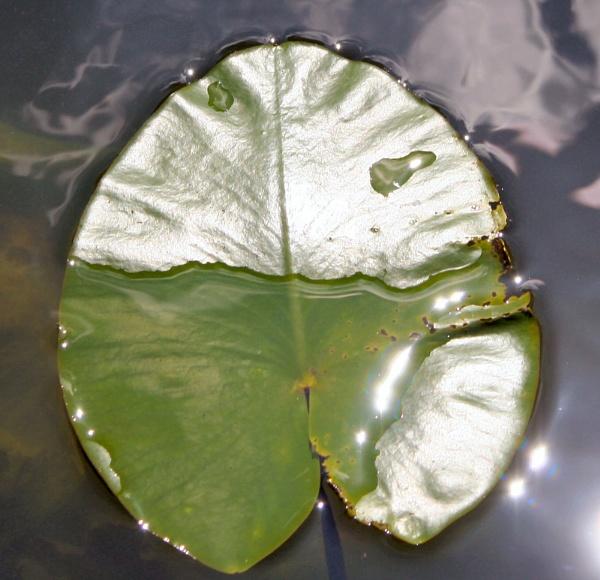 Water Lily by MGathercole