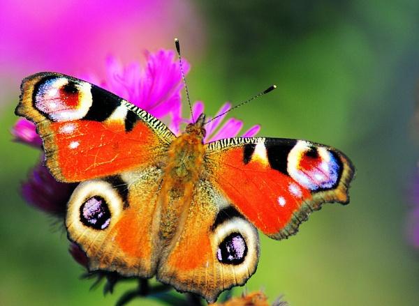 Peacock Butterfly by gabriel_flr