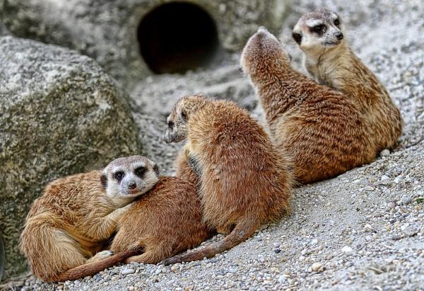 Meerkats by dentex