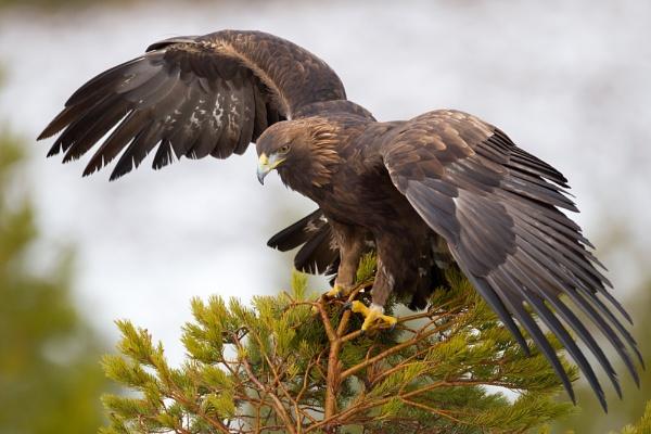 Golden Eagle by MikeDowsett