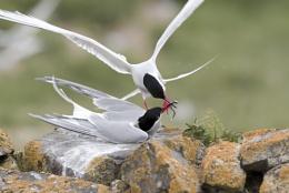 Arctic Tern passing fish