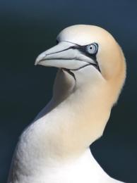 A Portrait of a Gannet