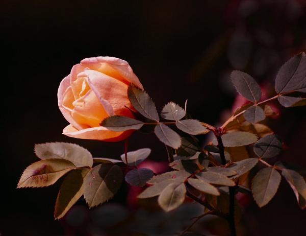 wild rose by snookerballo45