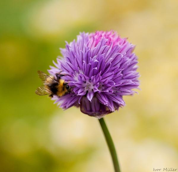 bee and flower by tattsdurham