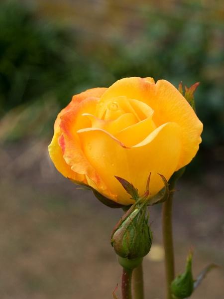 Yellow Rose by nbatchford
