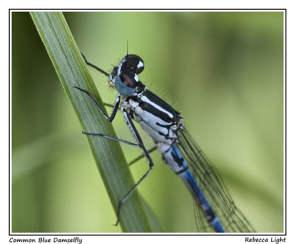 Common Blue Damselfly by beckybookins