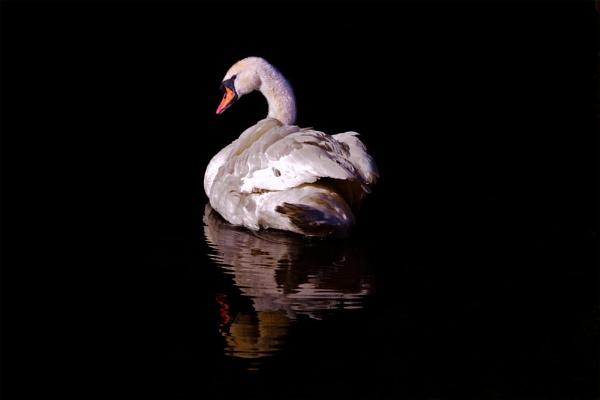 Swan by indrasish