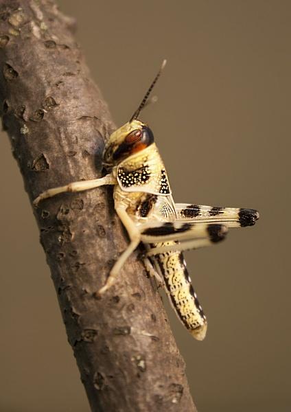 Locust by Richard_Prior