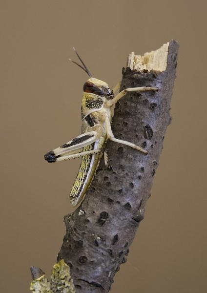 Locust 2 by Richard_Prior