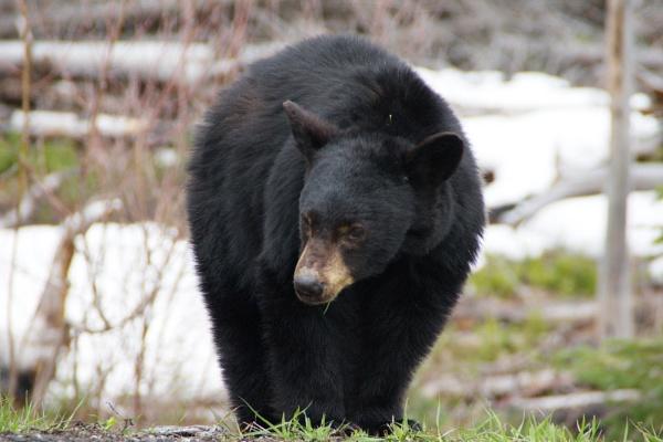 Rocky Mountains bear by javas
