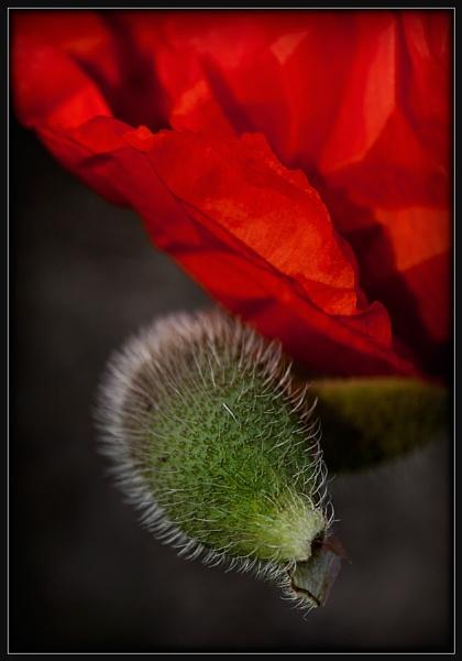 Poppy Bud by Morpyre