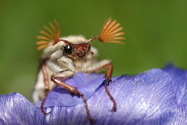 Maybug aka Cockchafer by cattyal