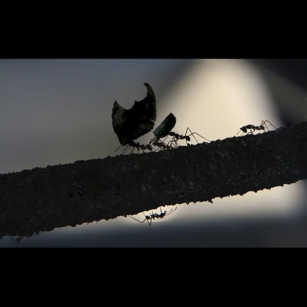 Leafcutter Ants by tywanda46