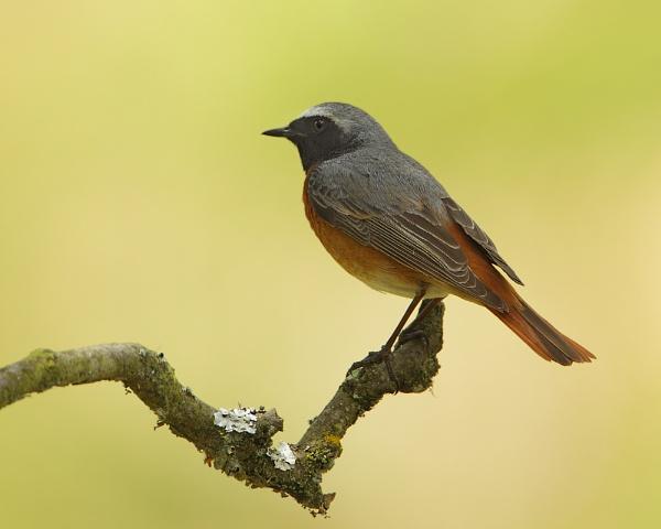 Redstart (male) by Steve_S