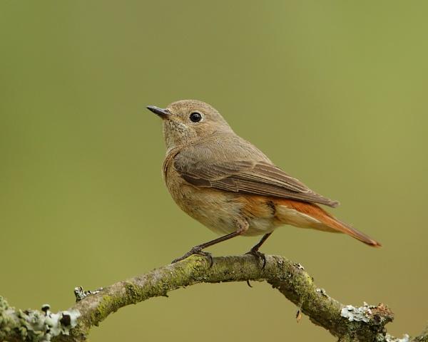 Redstart (female) II by Steve_S