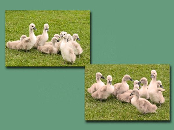 Flock of signets. by franken