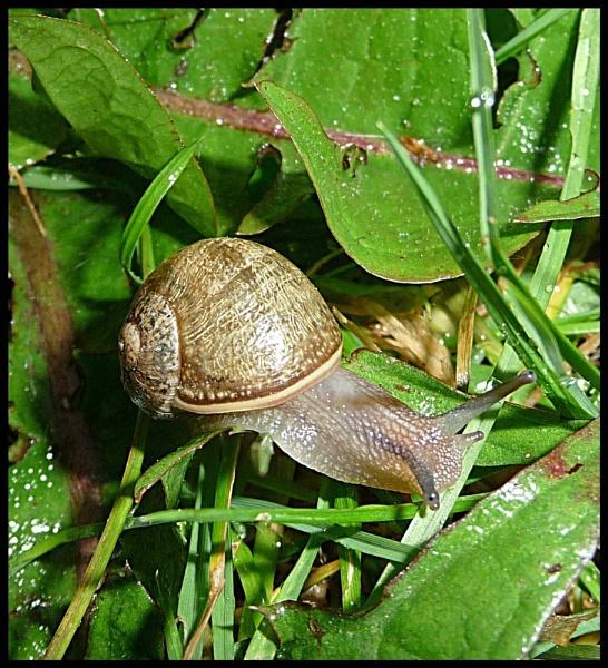 Snail.. by mushroomgirl