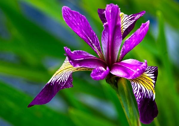 Iris by Scutter