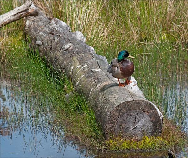 Mallard drake on log by Scutter