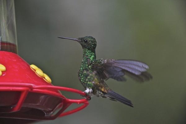 Copper-rumped Hummingbird by Jason_Bonsey
