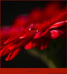 Scarlet Solitude