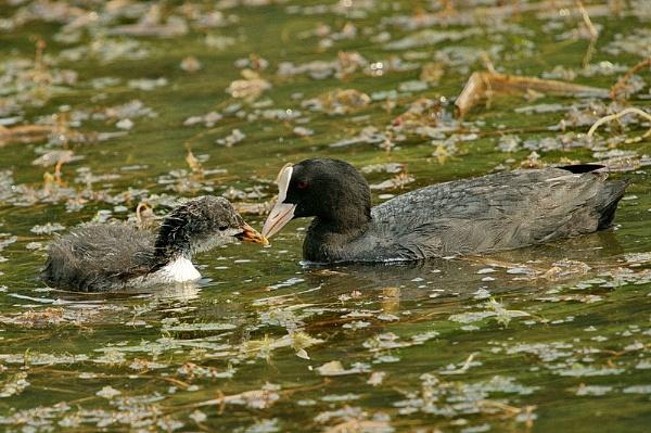 chick feeding by zmecanin
