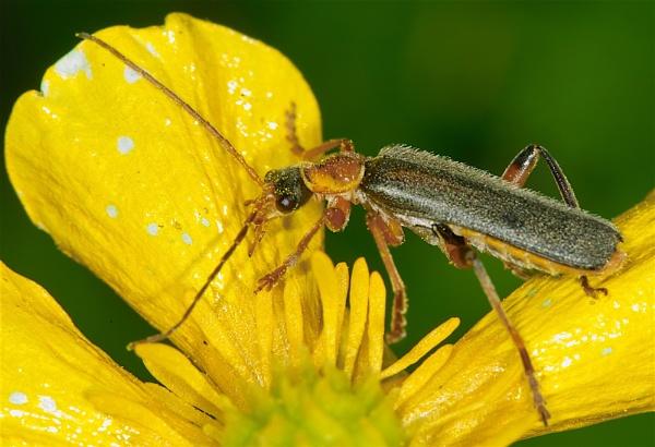 Soldier Beetle by Gemma9