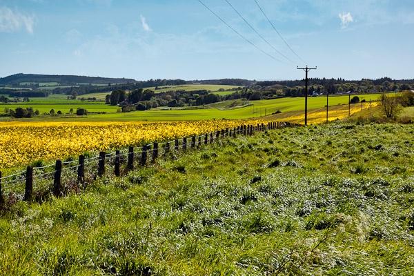 Rape seed field near Munlochy Bay_03 by Phil_Bird