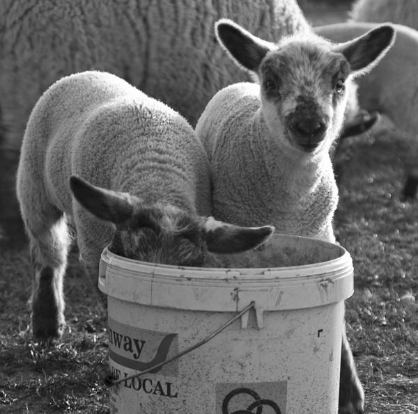 Lambs by nice_fish