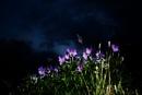 Violets at night
