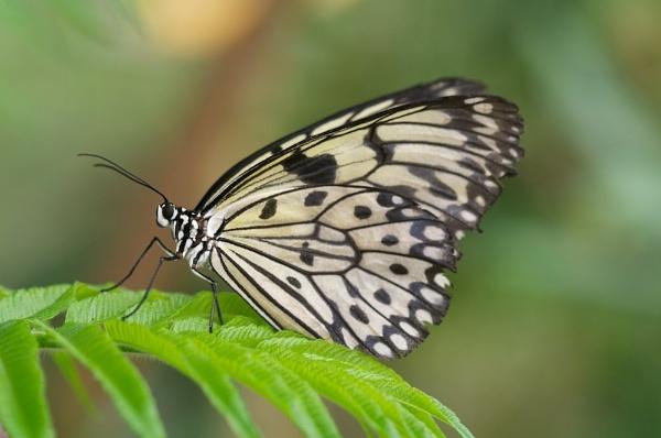 Monarch Butterfly by jamesh