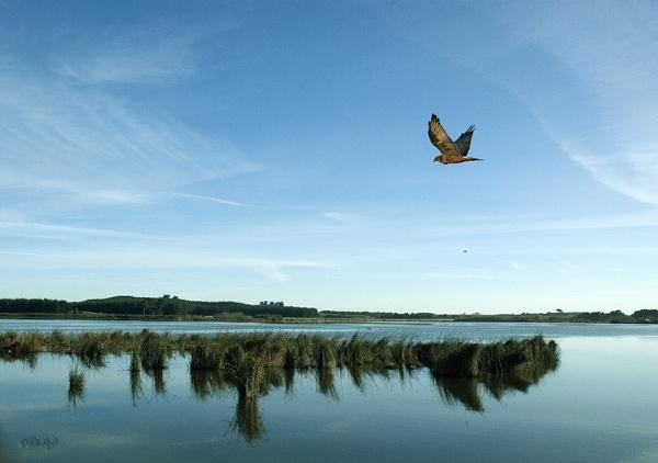 Harrier Hawk over L. Horowhenua by paulknight