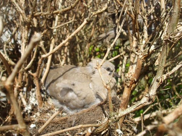 ringed dove chick by nutrunner