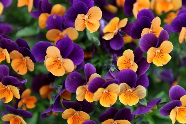 Violas in Bloom by Chaplens