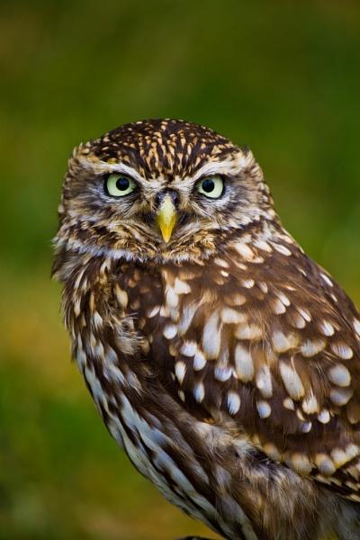 Little Owl by LizMutimer