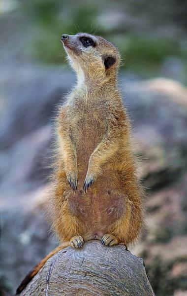 Meerkat II by dentex