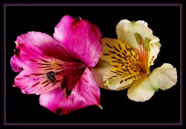 Raspberry & Cream by Peagreen