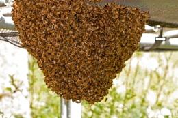 Honey bee invasion