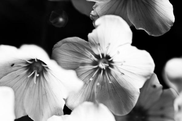 B&W Flowers by AlexRitchie