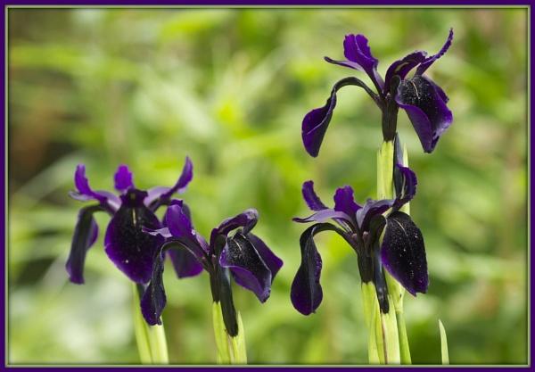 Iris by DilysT