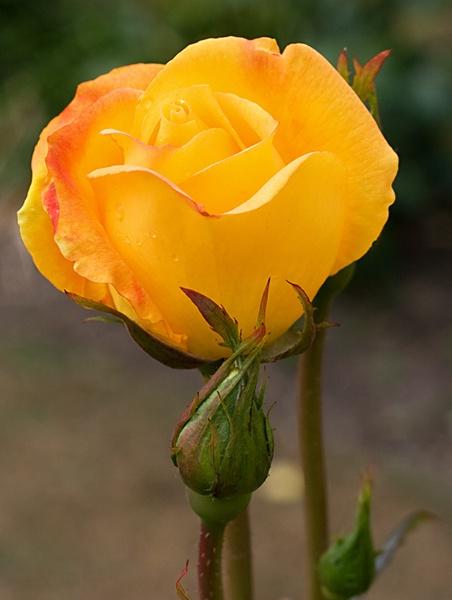 Yellow Rose II by nbatchford