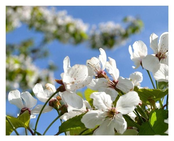 Blossom Blue by sjcree