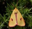 Clouded Buff Moth - Diacrisia sannio